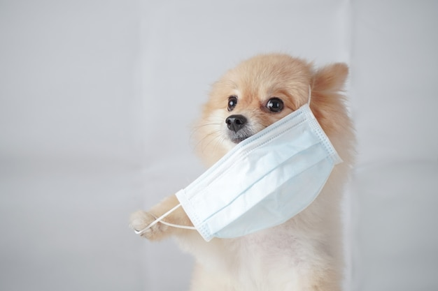 Small dog breed or pomeranian with light brown hair sitting and wearing a anti pollution pm2.5 mask. it feels uncomfortable so it trying to pull mask out