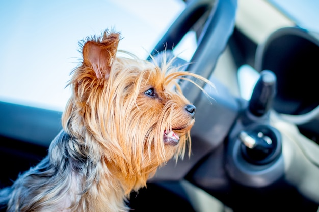 A small dog of breed  yorkshire terrier in the car is waiting for the owner