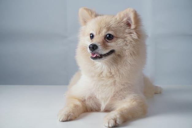 Маленькая собака породы или шпиц с каштановыми волосами приседает или ложится на белый стол