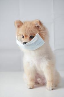 小さな犬種または白いテーブルに座って汚染や病気を防ぐためにマスクを着ている茶色の髪のポメラニアン