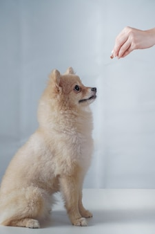 Small dog breeds or pomeranian with brown hairs sitting and waiting and looking at a snack for reward