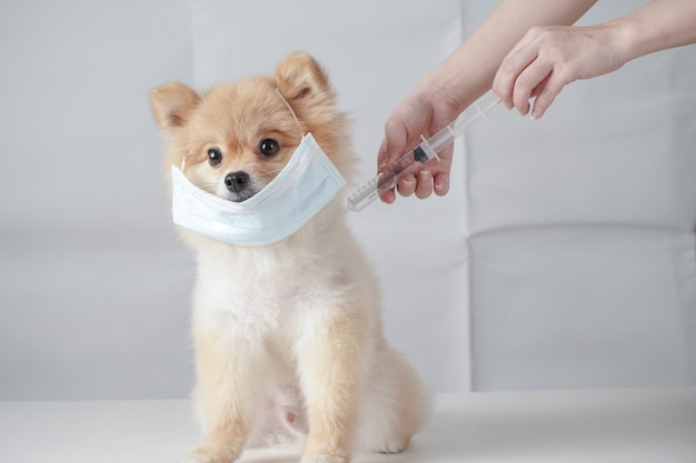Small dog breeds or pomeranian with brown hairs sitting on the white table and wearing mask for protect a pollution or disease. it was injected vaccine with syringe by owner
