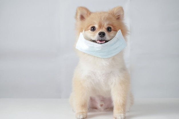 Small dog breeds or pomeranian with brown hairs sitting on the white table with white background and wearing mask.
