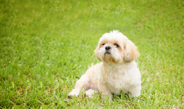 Small dog breeds shih tzu brown fur in green lawn.