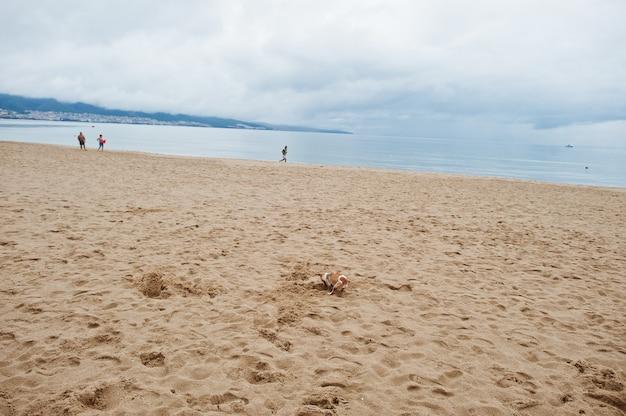Маленькая собака в песке на солнечном берегу на черном море в болгарии. летние каникулы путешествия отдых.