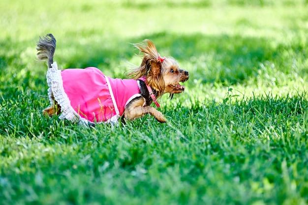 요크셔 테리어 품종의 작은 개는 걷는 동안 잔디밭에서 달린다