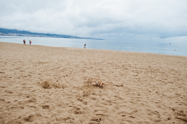 Small dog in sand at sunny beach on black sea in bulgaria. summer vacation travel holiday.