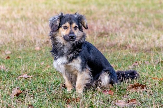 秋の公園の芝生の上に座っている小さな犬
