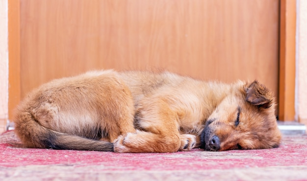 Small dog sleeping under the door of his master's room