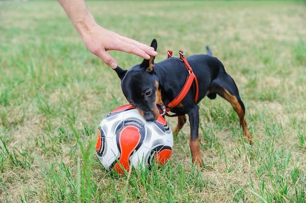 축구 공을 물려고하는 작은 개