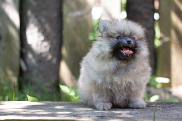 A small dog a two-month-old pomeranian puppy sits on a board against the background of a wooden fence with his mouth open.