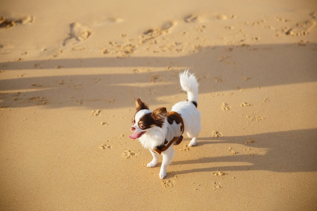 A small dog walking and playing some sand on the beach at phuket province in thailand.