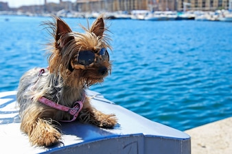 Small dog wearing sunglasses sit near the sea