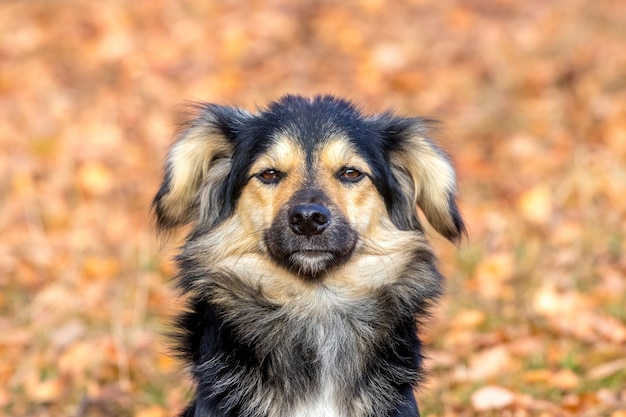 Small dog with black and brown wool on the background of autumn leaves