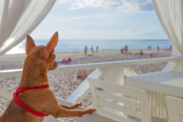 Маленькая собачка сидит на стуле и смотрит на пляж