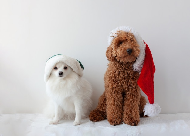 Small dogs white pomeranian and miniature poodle red brown in santa claus and elf hats