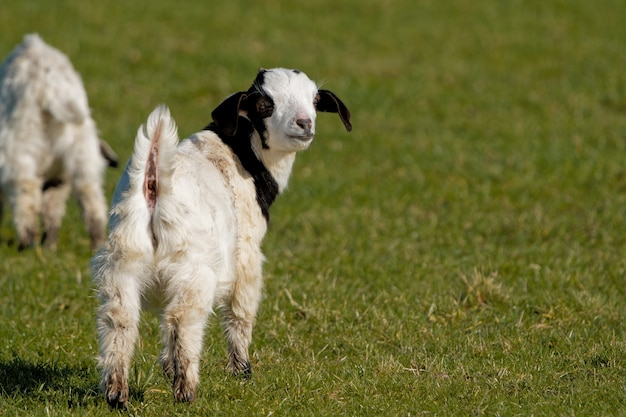 Small domestic goat on the green lawn