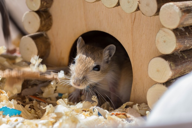 A small domestic rodent peeps out of its wooden house in a sawdust cage