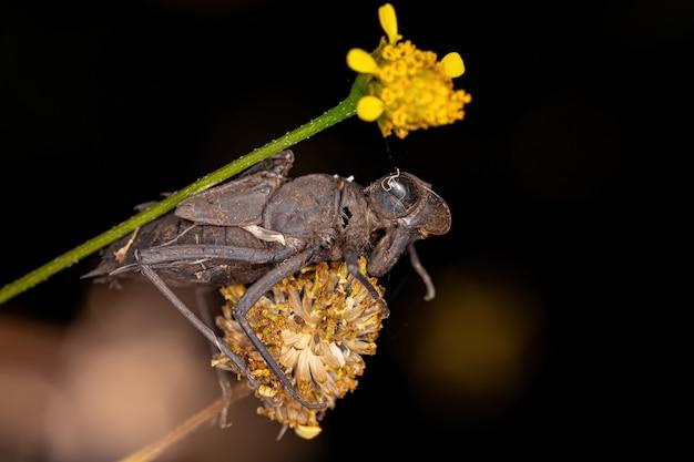 亜目アニソプテラの小さなトンボ昆虫脱皮