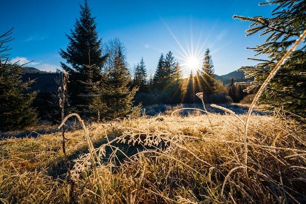 Маленькая сухая травка, покрытая кристальным инеем от мороза на фоне яркого холодного солнца и вечнозеленых синих елок