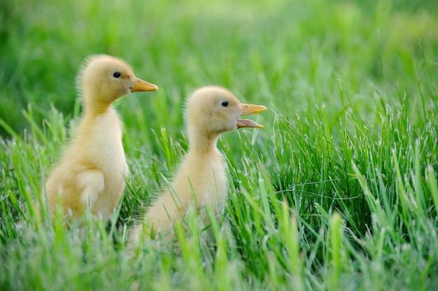 Маленькая утка на фоне зеленой травы