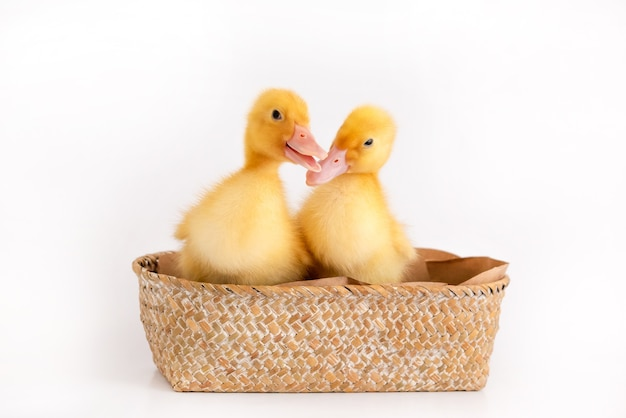 Small ducklings in a wicker basket on an isolated background.