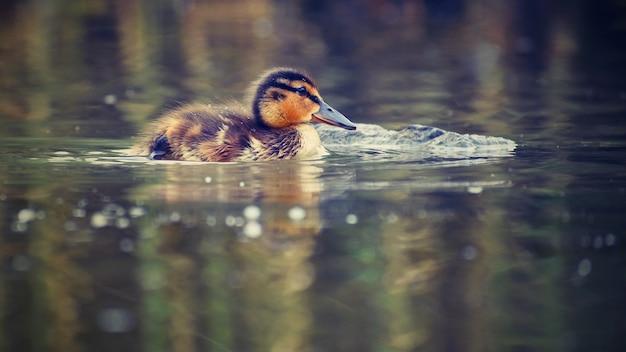 Маленькие утки на пруду. кровавые магаки. (anas platyrhynchos)
