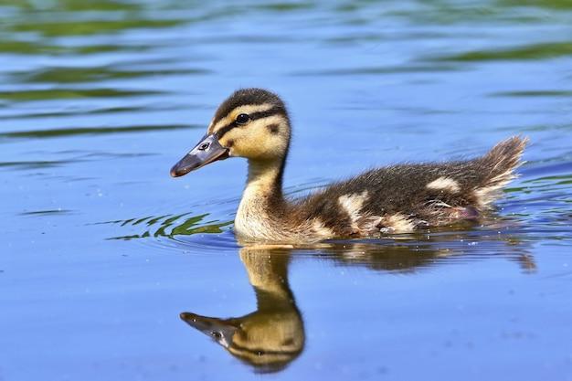 Small ducks on a pond. fledglings mallards.(anas platyrhynchos)