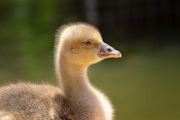 Маленькие утки плавают в пруду со взрослыми утками