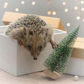 Small dwarf hedgehog climbs out of gift box. pets in the christmas holidays