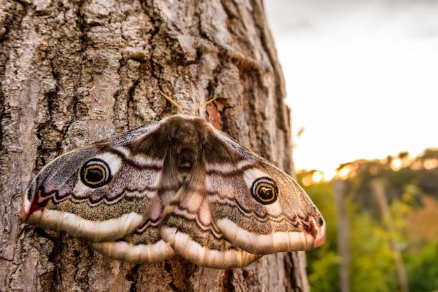 The small emperor moth (saturnia pavonia)