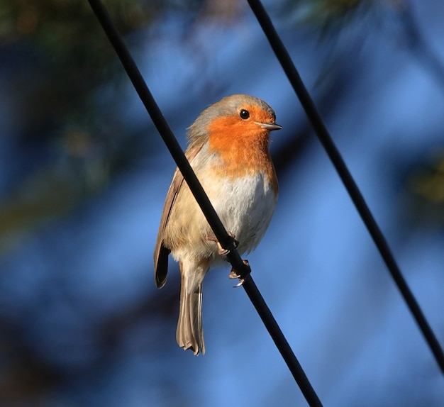 Small european robin perched on a black line
