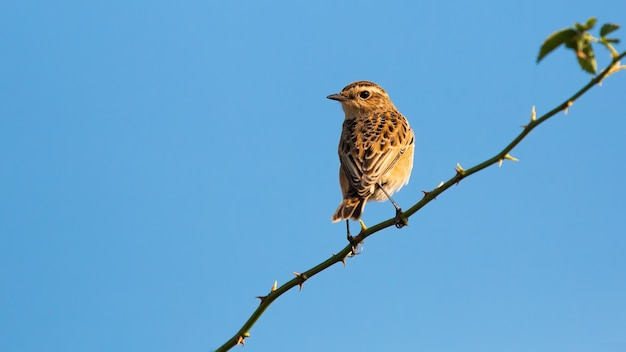Small european stonechat female sitting on thorny branch under blue sky