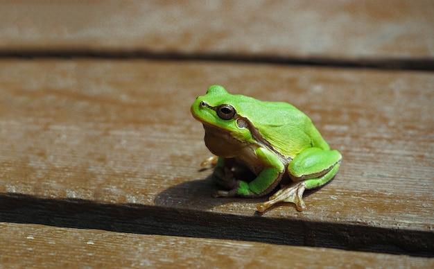 木製の背景に小さなヨーロッパアマガエル。緑の両生類