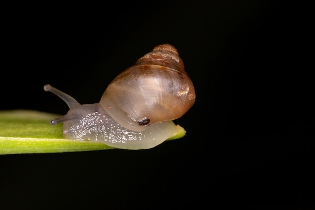 下綱euthyneuraの小さなeuthyneuran腹足類