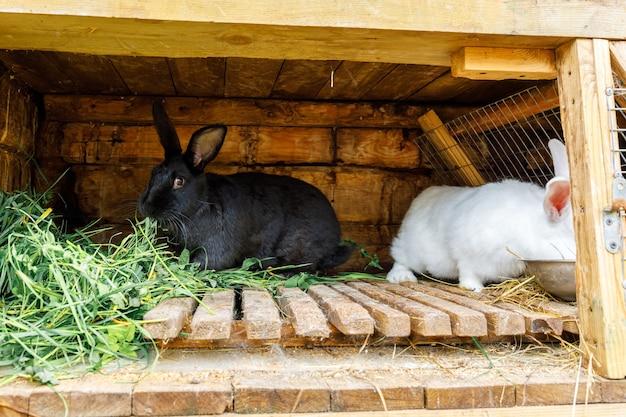 동물 농장, 헛간 목장 배경에 있는 토끼 집에서 풀을 씹는 작은 먹이를 주는 흰색과 검은색 토끼. 자연 생태 농장에 허치에 토끼입니다. 현대 동물 가축과 생태 농업 개념.
