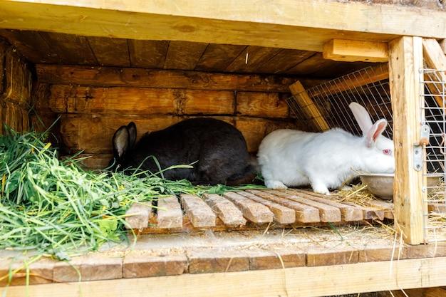 동물 농장 헛간 목장 배경에 있는 rabbithutch에서 풀을 씹는 작은 먹이를 주는 흰색과 검은색 토끼...