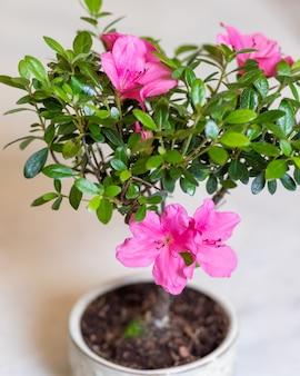 小さなイチジク盆栽朝鮮人参レタス花のクローズアップ