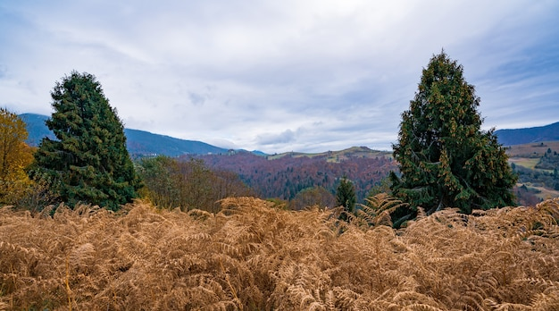A small field with wild dried grass against the surface of hills with colorful spruce forests in the carpathian mountains
