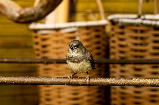 Маленькая птица зяблик на ветке в птичнике. фото высокого качества