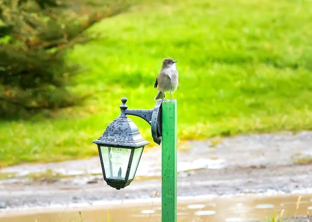 Маленькая птица зяблик сидит на фонаре под дождем на фоне ярко-зеленой травы