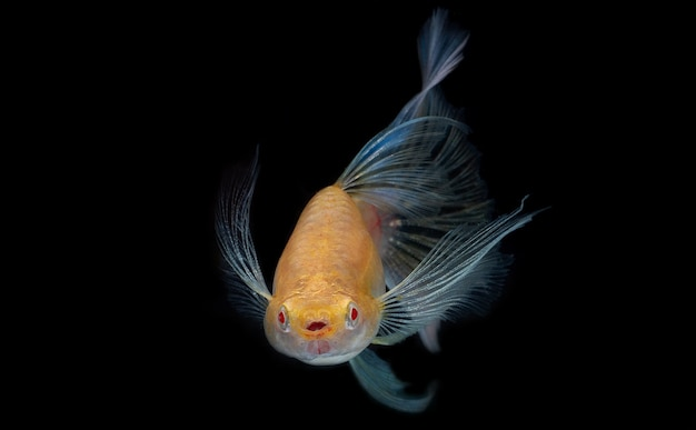 Small fish that are colorful and beautiful.,the fish has a pretty pale blue tail.,isolate guppy fish while swiming on blackground.