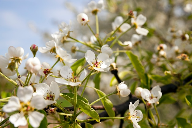 The small flowers of an apple-tree photographed by a close up. small depth of sharpness