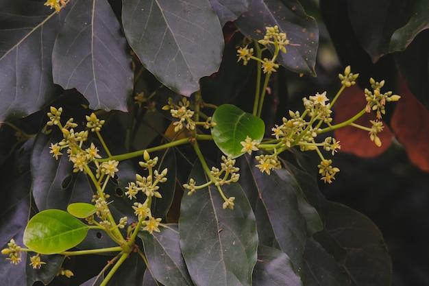 Маленькие цветки дерева авокадо в саду.