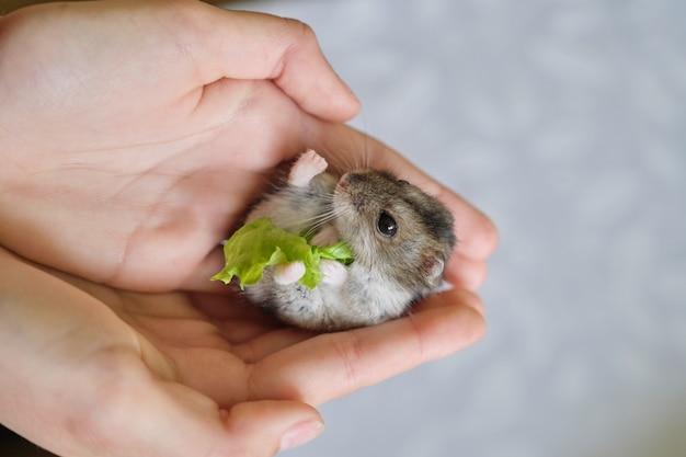 Маленький пушистый серый джунгарский хомяк ест зеленый лист салата в руке ребенка крупным планом