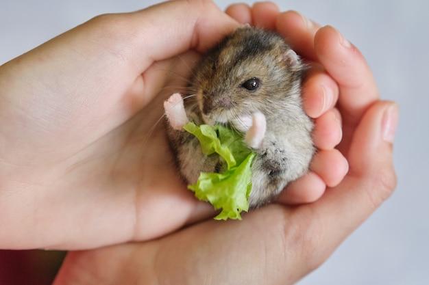 Маленький пушистый серый джунгарский хомяк ест зеленый лист салата в руке ребенка