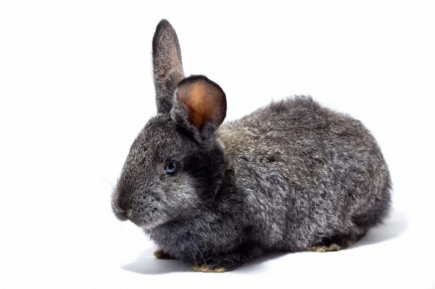 白い壁に分離された小さなふわふわ灰色ウサギ