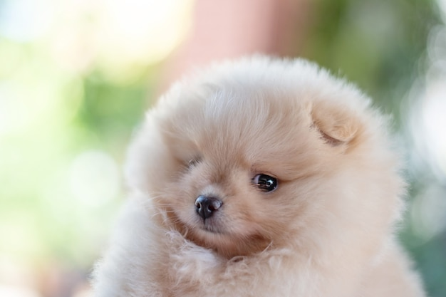 보케 배경에 복사 공간이 있는 카메라를 찾고 있는 작고 푹신한 밝은 갈색 포메라니안 강아지