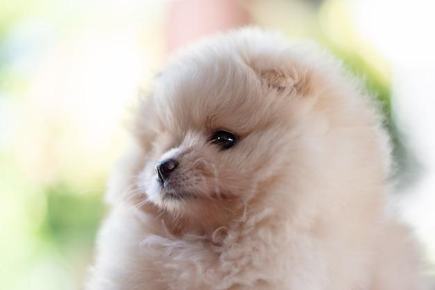 보케 배경에서 왼쪽을 바라보는 작고 푹신한 연한 갈색 포메라니안 강아지