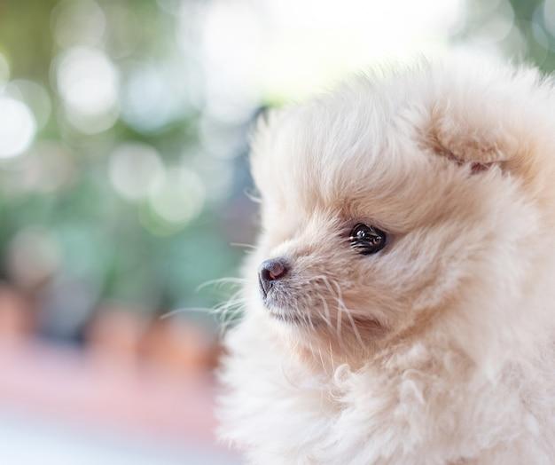부드러운 초점 배경에서 왼쪽을 바라보는 작고 푹신한 밝은 갈색 포메라니안 강아지